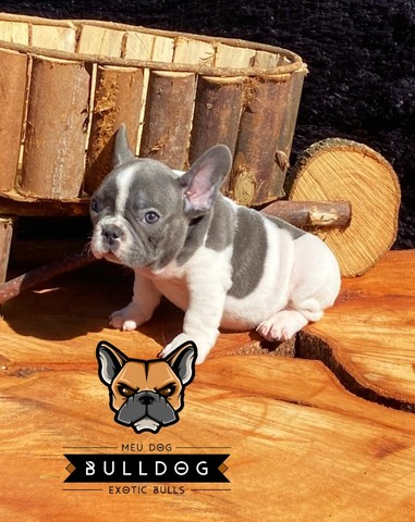 Bulldog frances - Foto 4