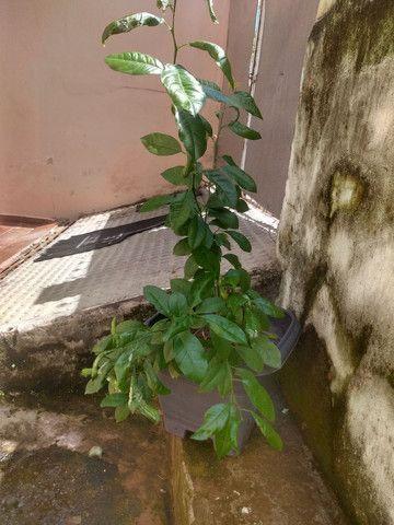 Limão Capeta - Foto 4
