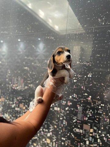 Filhotes Beagle Tricolor Macho e Fêmea - Foto 6