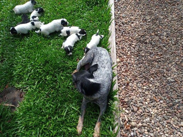 Filhotes de blue heeler (pastor australiano). - Foto 5
