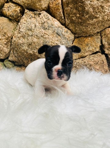 Bulldog Francês Lindos com Garantias e Total Segurança!