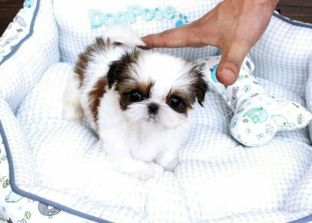Shih tzu - você vai se apaixonar por esse pet