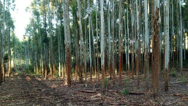 Mato de eucalipto - Foto 3