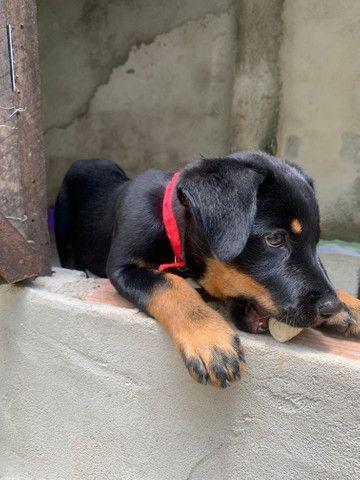 Rottweiler fêmea - Foto 2