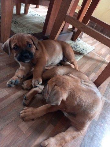 Filhotes de Rottweiler e Pit Bull Misturados - Foto 5