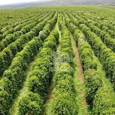 Fazenda à venda, 700 mil pés de café, 205 hectares por R$ 17.000.000