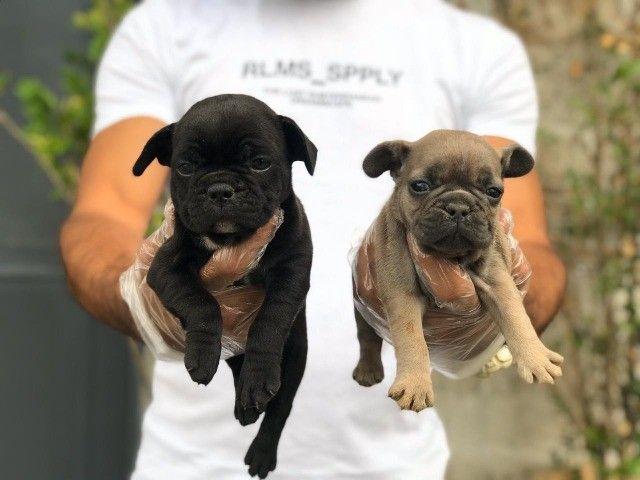 Venha conhecer o grande amor da sua vida - Bulldog Francês