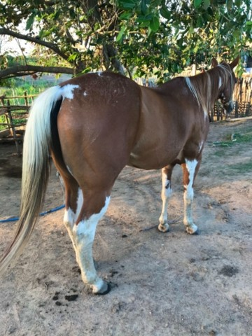 Cavalo vaquejada  - Foto 3