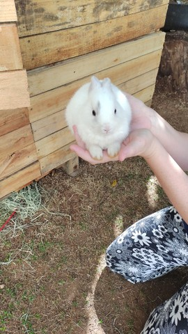Mini coelho holandês - Foto 2