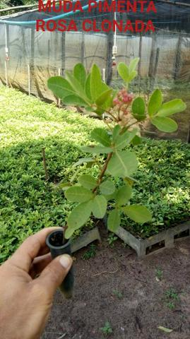 Muda de aroeira Pimenta Rosa