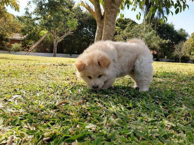 Chow chow machinho com pedigree