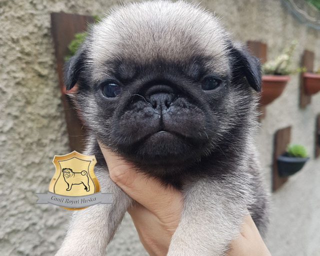 Magníficos filhotes de Pug Disponível para Reserva