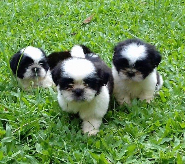 lindos filhotes machos de shih tzu - Foto 6