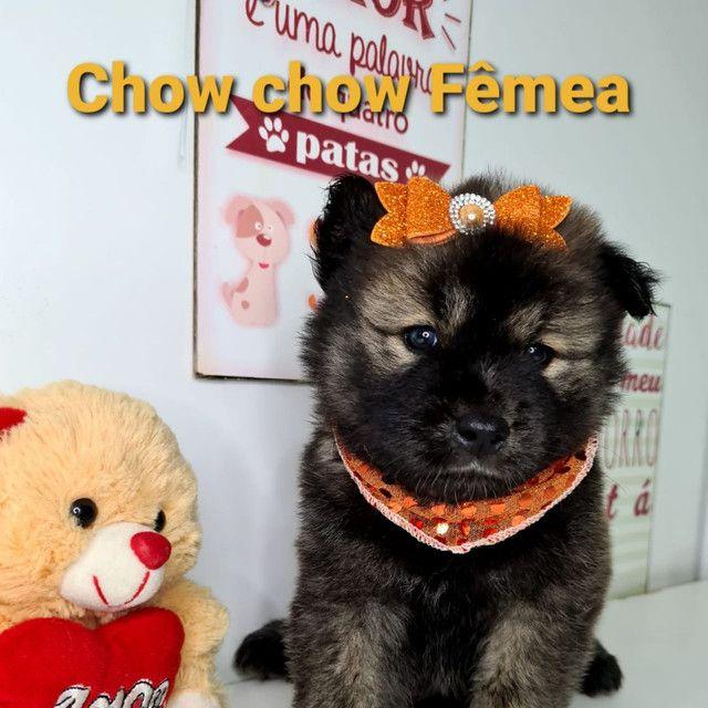 Lindas bebês Chow Chow disponíveis em promoção