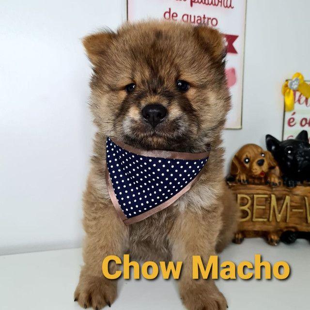 Lindos Bebês Chow Chow em promoção!!!