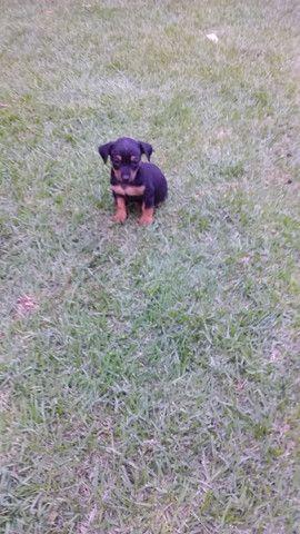 Cachorro pincher 1 - Foto 3
