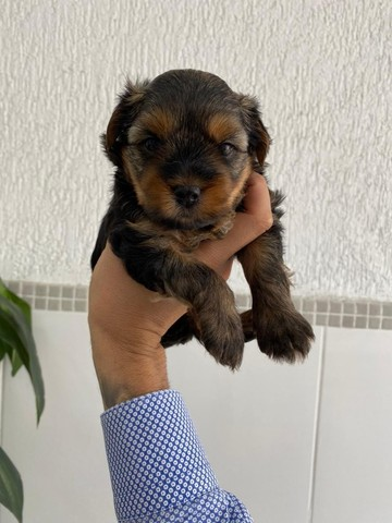 Venha conhecer o grande amor da sua vida - Yorkshire Terrier - Foto 2