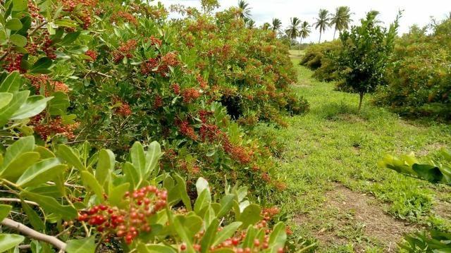 Muda de aroeira Pimenta Rosa - Foto 2