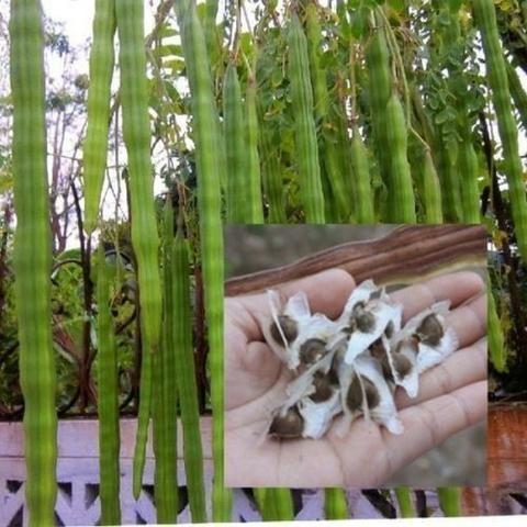 Semente Moringa - Foto 2