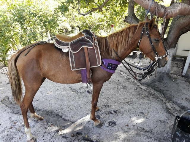 Vendo egua ingetada de um cavalo de raça - Foto 2