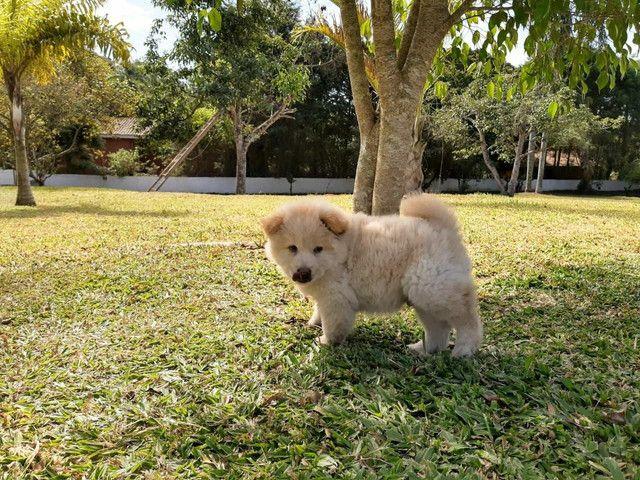 Chow chow machinho com pedigree - Foto 2