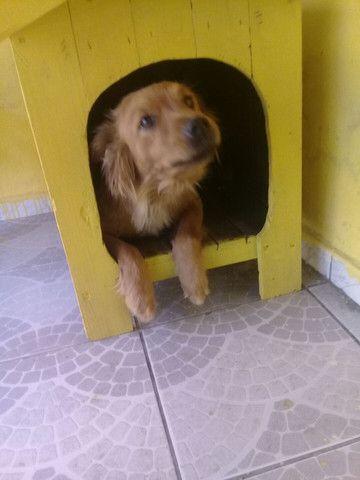 Doação de cachorra Chow Chow
