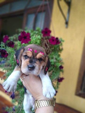 Vendo belissimos filhotes de Beagle.