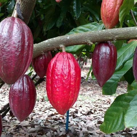 Mudas frutíferas todas em promoção - Foto 5