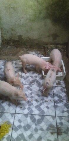 Filhotes de porcos