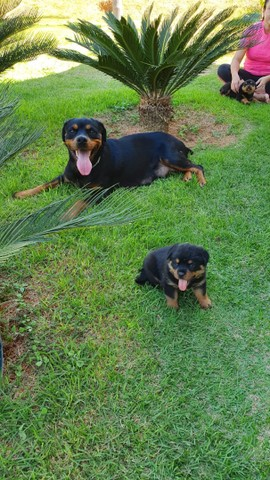 Vendo lindas fêmeas Rottweiler  - Foto 5