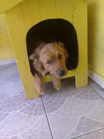 Doação de cachorra Chow Chow  - Foto 2