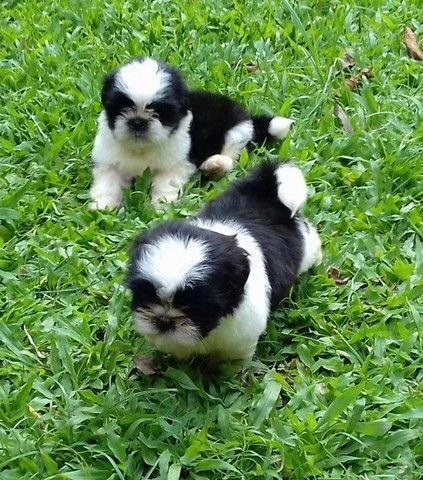 lindos filhotes machos de shih tzu - Foto 4