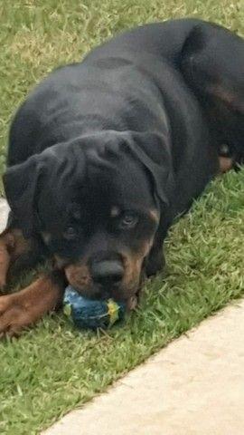 Rottweiler disponível para acasalamento  - Foto 5