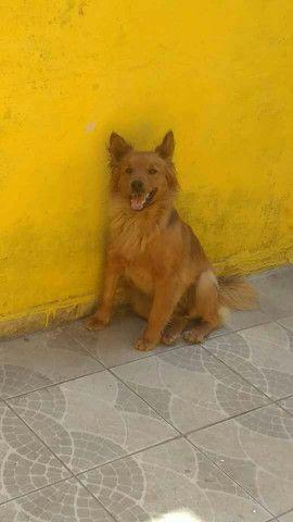 Doação de cachorra Chow Chow  - Foto 5