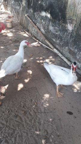 Promoção Dois Patos - Foto 2