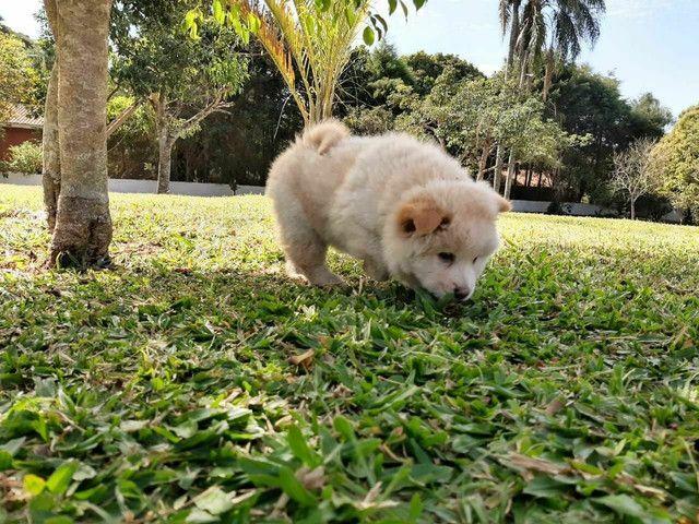 Chow chow machinho com pedigree - Foto 3