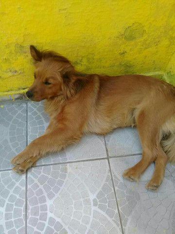 Doação de cachorra Chow Chow  - Foto 3