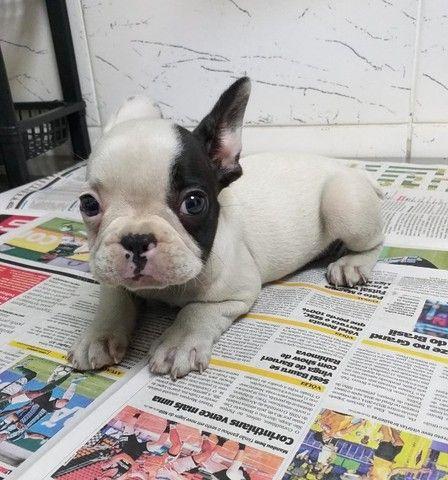 Venha conhecer o grande amor da sua vida - Bulldog Francês - Foto 2