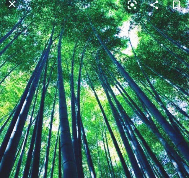 Bambu Gigante - Foto 5