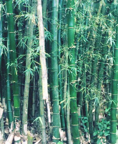 Bambu Gigante - Foto 6