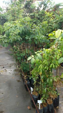 Plantas nativas para reflorestamento - Foto 2