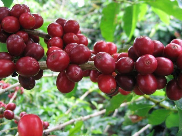 Café torrado em grãos 100% arábica 10 kg - Foto 4