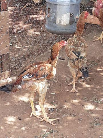 Galinhas caipiras, obs: meus frangos e galinhas  são crias de índio gigantes..  - Foto 3