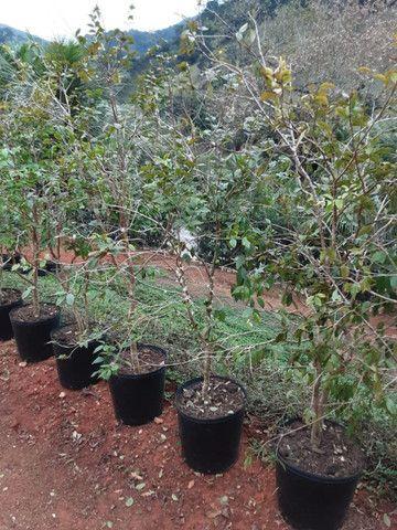 Mudas de coco anao e Jabuticaba produzindo - Foto 3