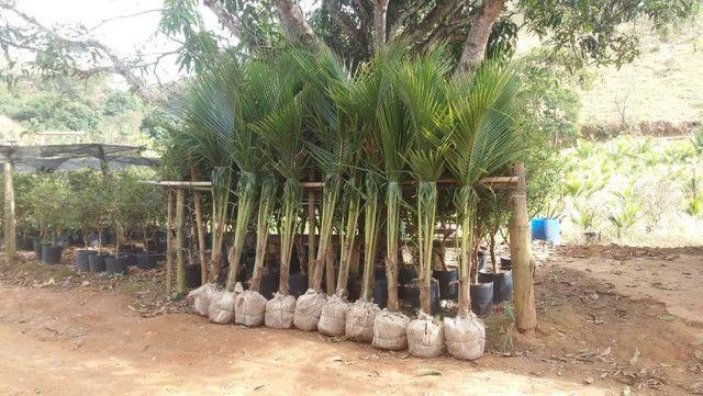 Mudas de coco anao e Jabuticaba produzindo - Foto 5