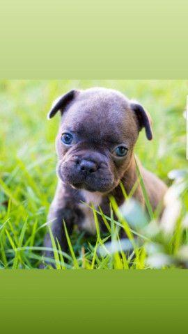 Vendo filhotes de Bulldog francês Blue exóticos  - Foto 2