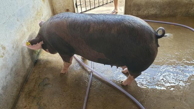 Vendo filhotes de porco e Porco para o abate - Foto 5