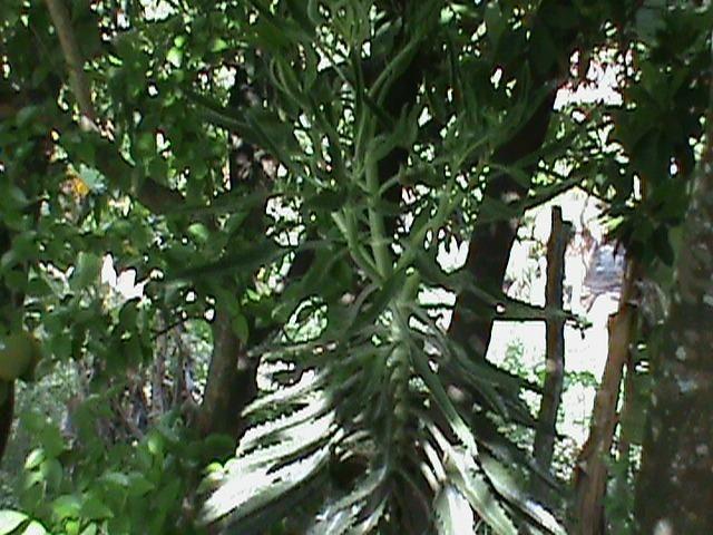 Sítio com 24x35 = 840m2, Vendo ou Troco , Em Tejucupapo, Goiana-PE - Foto 12