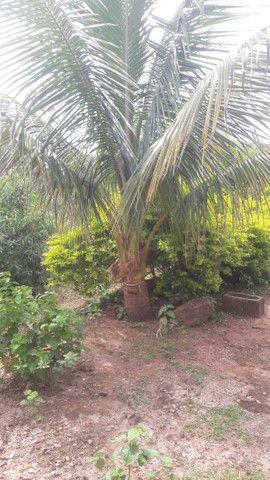 Mudas de coco anao e Jabuticaba produzindo