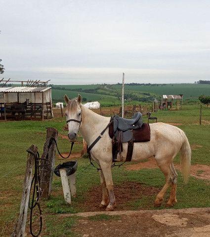Cavalo Castrado Mangalarga Marchador - Foto 3